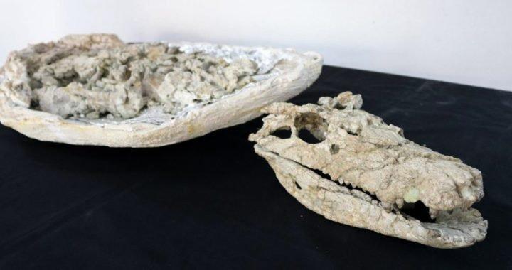 Presentaron un cocodrilo fósil de 70 millones de años