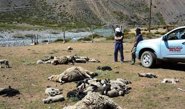 Jefe comunal de Manzano Amargo preocupado por los pumas