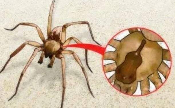 Cómo identificar a la araña que dejó en terapia intensiva a una nena de 3 años y qué hacer ante una picadura